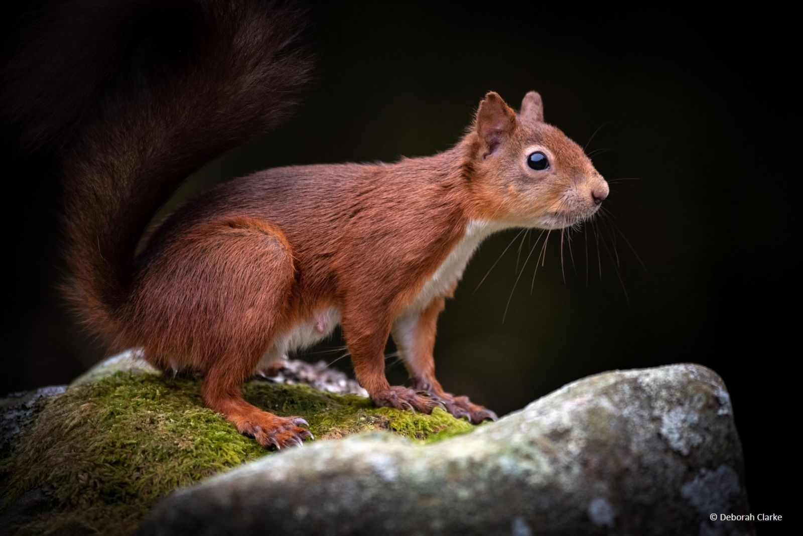 7 red squirrel_Yorkshire Dales_Deborah Clarke