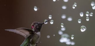web_004_Amateur_02_Anna-s-Hummingbird_Bibek-Ghosh_annashummingbird_high_res