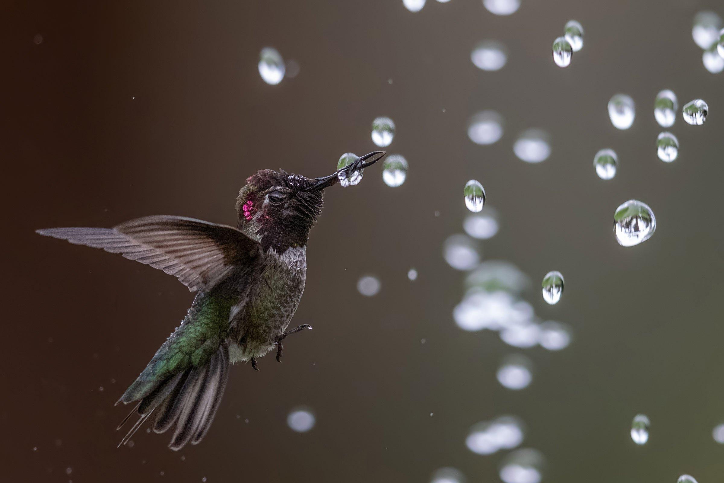 web_004_Amateur_02_Anna-s-Hummingbird_Bibek-Ghosh_annashummingbird_high_res
