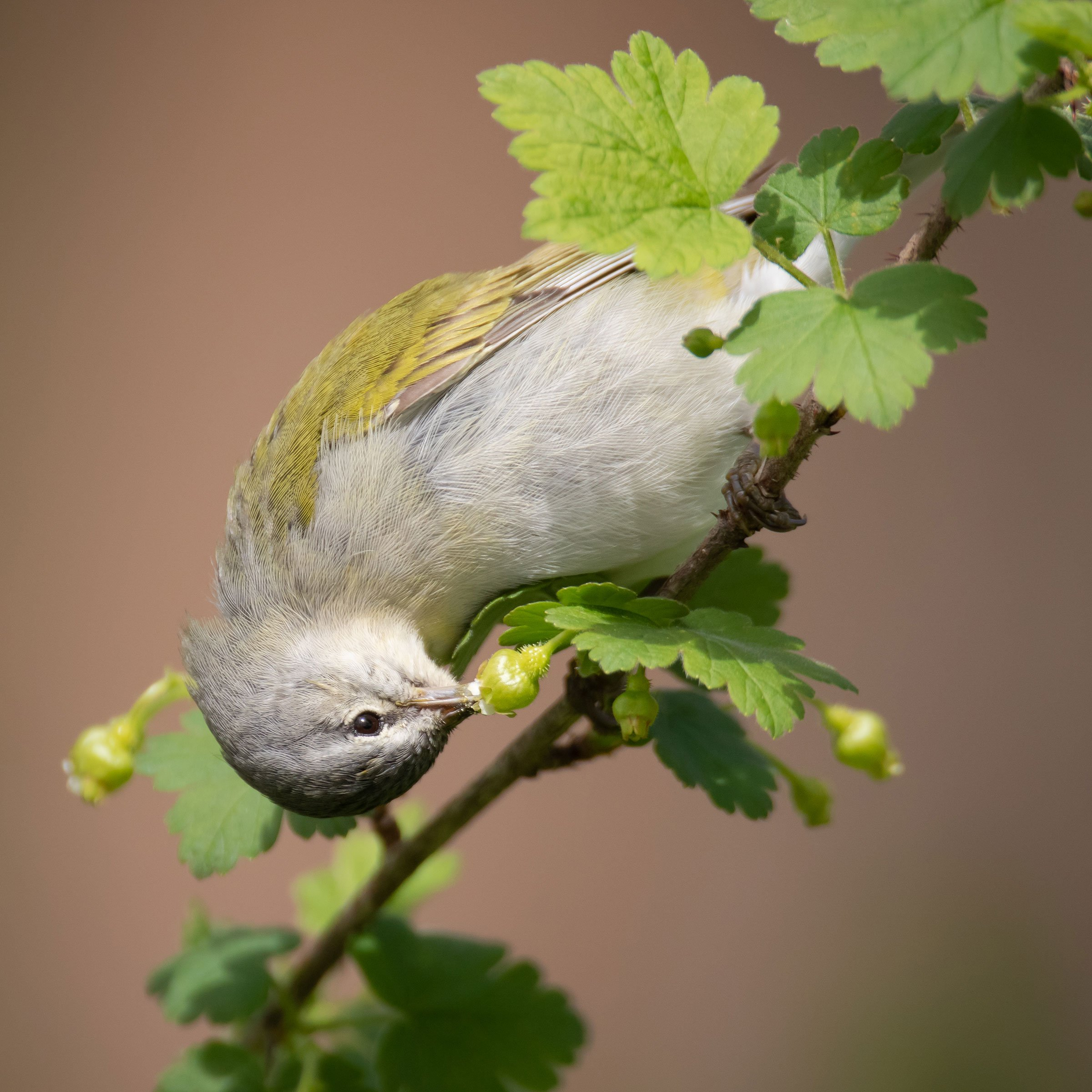web_006_PfB_02_Tennessee-Warbler-_Natalie-Robertson_tennesseewarbler_plantsforbirds_highres