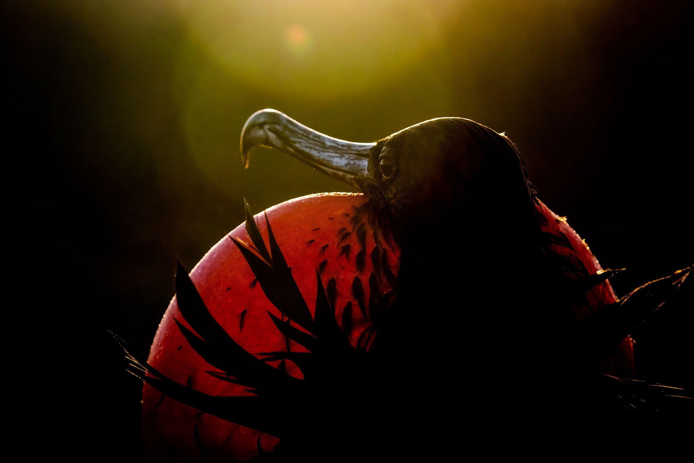 web_007_Pro_01_Magnificent-Frigatebird-_Sue-Dougherty_professional_highres