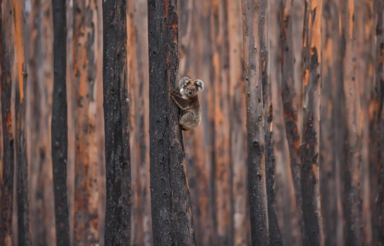 koala post