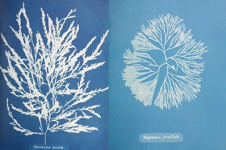 british-algae-cyanotypes-anna-atkins-two-column.jpg.thumb.768.768